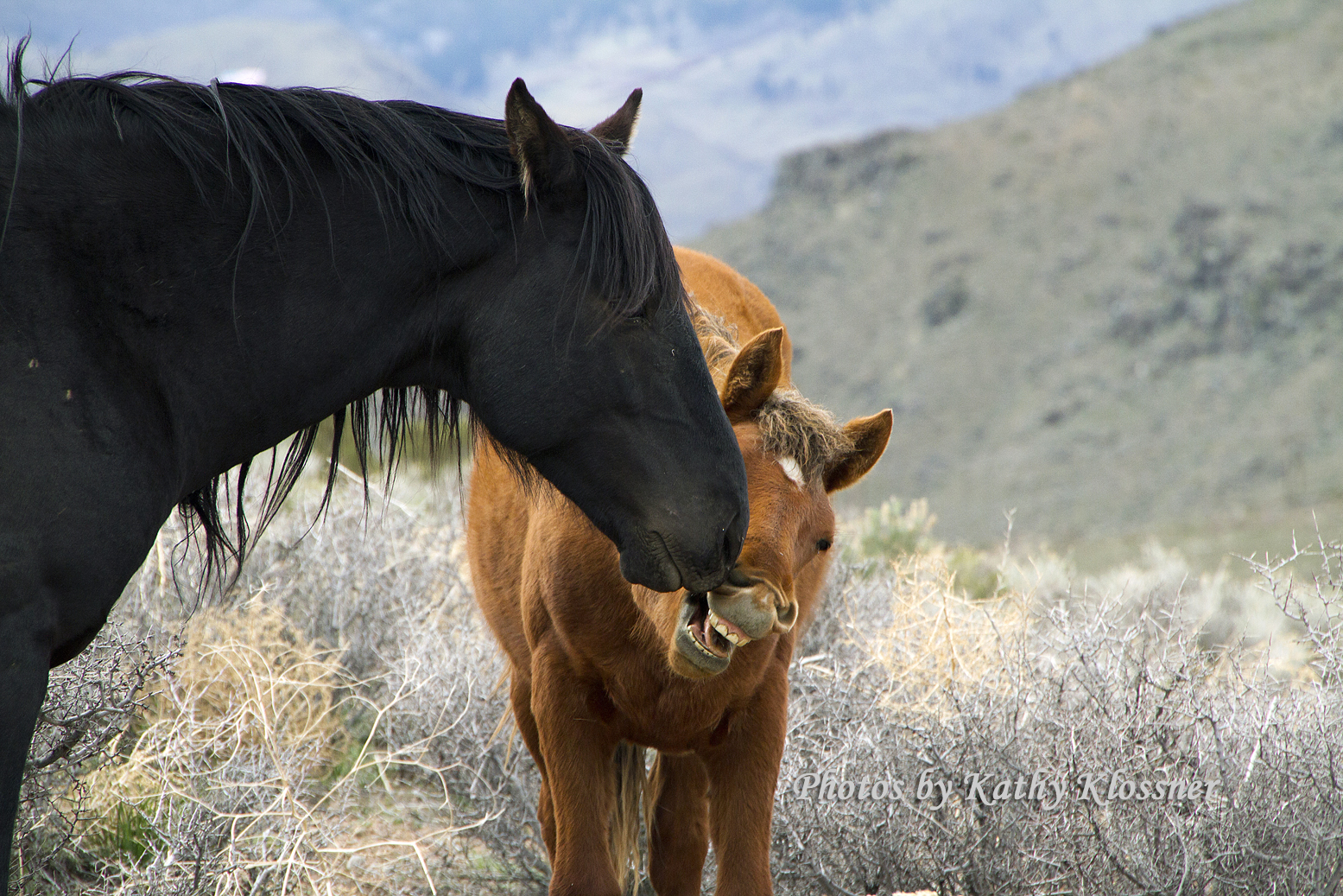 Wild Mustangs Near Carson City Images By Kathy Klossner