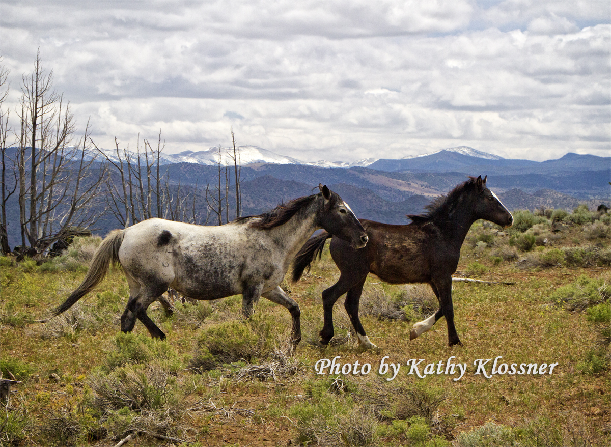 Wild Mustangs Horses Carson City May 2015